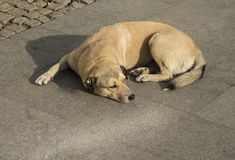 The stray dog with a chip in his ear on Istanbul street stock image
