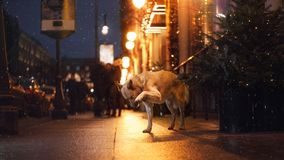 A stray dog in the city. Night on the street Stock Image