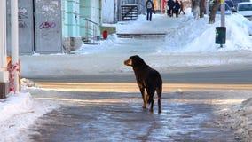 Stray dog on a city street stock video footage