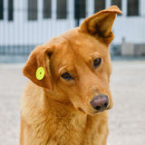 Stray dog with clip in the ear, homeless neutered Royalty Free Stock Images