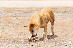 Stray dog. Close up dirty stray dog try to hold the bone in mouth Stock Image