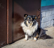 Stray dog at the closed door Royalty Free Stock Photography
