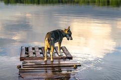 Stray dog is coming up quite close to the water edge. Biserovo lake, Moscow region. Everyone will be fascinated and delighted by vast water spaces of the lake stock photos