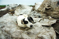 The stray dog ​​at dump Royalty Free Stock Photo