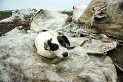 The stray dog at dump Royalty Free Stock Photo