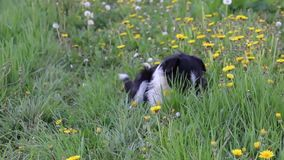 Stray dog eating  grass in spring stock video