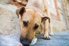 Stray dog eats junk Stock Images