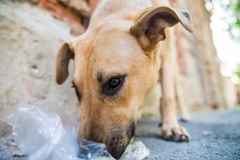 Stray dog eats junk Royalty Free Stock Images