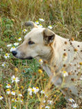 Stray dog in a field on a background of flowers and green grass Royalty Free Stock Photos