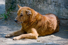 Stray dog in Guatemala Royalty Free Stock Photography