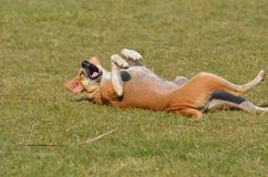 A stray dog is having a gala time in the park streching and yawning royalty free stock photo