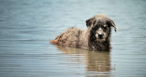 Stray dog in the lake Stock Image