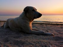 Stray dog lay down on sand at the beach in the sunset time. Feelings lonely. Stray dog lay down on sand at the beach in sunset time. Feelings lonely stock photos