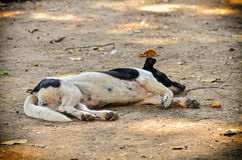 Stray dog laying Royalty Free Stock Images
