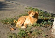 Stray dog lies on the ground near the tree Royalty Free Stock Photos