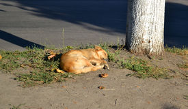 Stray dog lies on the ground near the tree Royalty Free Stock Photography