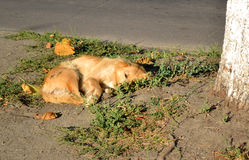 Stray dog lies on the ground near the tree Royalty Free Stock Images