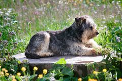 Stray dog lies on podium as monument. Among green meadows, dog monument. Year of the dog royalty free stock photo