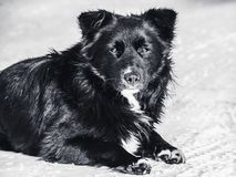 A stray dog lies on the snow. Monochrome photo. Homelessness, loneliness, hunger Royalty Free Stock Image