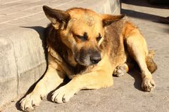 Homeless stray dog sad one. Stray dog lies under the rays of the sun royalty free stock photo