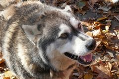 Stray dog like husky. Waiting for food from people Royalty Free Stock Photography
