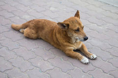 Stray Dog Royalty Free Stock Photo