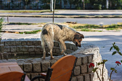 Stray dog looking for food and water Royalty Free Stock Images