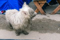A stray dog is looking for its owner. White dirty and wet dog. The animal looks with a sad look at the passing people royalty free stock photography