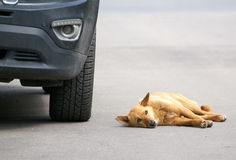 Stray dog looking at the sky lying on the road Stock Images