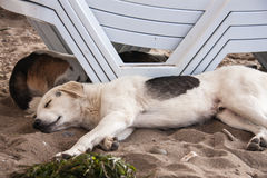Stray dog lying on beach near sun beds in sand Royalty Free Stock Photography