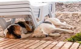 Stray dog lying on beach under sun beds in sand Royalty Free Stock Images