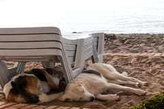 Stray dog lying on beach under sun beds in sand Royalty Free Stock Photo