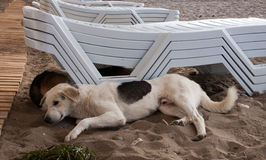 Stray dog lying on beach under sun beds in sand. Stray dog on the beach, lying under sun beds in sand, hiding from sun Royalty Free Stock Photography