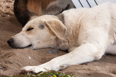 Stray dog lying on beach under sun beds in sand. Stray dog on the beach, lying under sun beds in sand, hiding from sun Stock Images