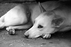 Stray dog. Stray dog lying on the floor looking sad and lonely. In black and White Royalty Free Stock Photography