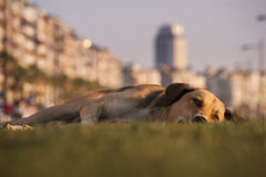 Stray dog lying on the grass. Stray dog lying down the grass in urban Stock Photo