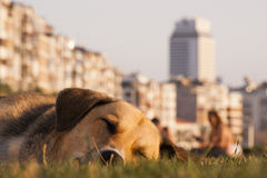 Stray dog lying on the grass. Stray dog lying down the grass in urban stock photography