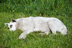 Stray dog lying on the grass. Kyiv region, Ukraine Royalty Free Stock Image