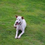 Stray dog lying on lawn Royalty Free Stock Image