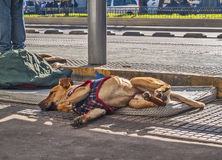 Stray dog lying Stock Images