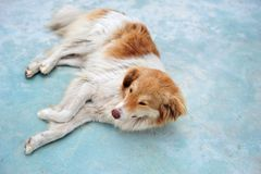 Stray Dog Lying On Sidewalk of Albania. Sleeping dog in Albania. Mixed breed. Canine lying on the side of pavement. Horizontal photo with copy space to the right Stock Image