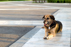 A stray dog lying on the sidewalk Stock Photos
