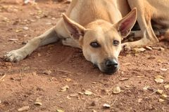 Stray dog with a melancholy gaze rests. On dry land Royalty Free Stock Photos