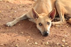 Stray dog with a melancholy gaze rests. On dry land Stock Image