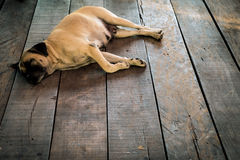 Stray dog. Mixed breed dog sleeping happily on the wooden floor, soft and selective focus Stock Image