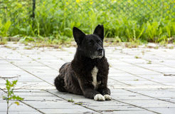 Stray dog, a mongrel with a black coat looking up Royalty Free Stock Photography