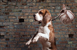 Stray dog Royalty Free Stock Images