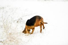 Stray dog with one disabled leg digging hole in snow. Image stock photos