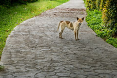 Stray dog in the park. Stray dog on concrete pathway in the park Stock Images
