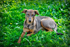 Stray dog ​​in the park on the grass, Ukraine Stock Photography